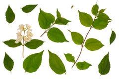 Green leaves of honeysuckle, Honeysuckle Ruprecht royalty free stock image