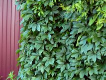 Green leaves of the hop plant on the fence Stock Photography