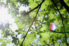New leaves of green horse-chestnut Stock Photos