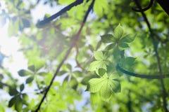 Fresh leaves of green horse-chestnut Stock Photos