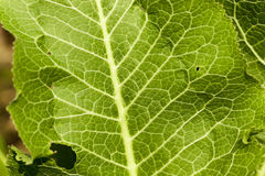 Green leaves of horseradish Stock Image