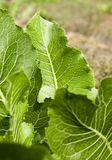 Green leaves of horseradish Royalty Free Stock Photos