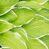 Green leaves hosta Royalty Free Stock Photography