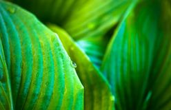 Green leaves of hosta with dew drops Stock Photo