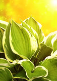 Green leaves of a hosta Stock Images