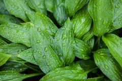 Green leaves of hosta with rain drops Stock Photo