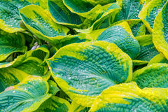 Green leaves (hosta) with water drops Royalty Free Stock Photo