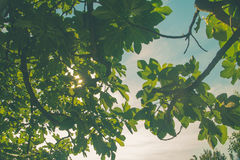 Green leaves and hot Sun. Green leaves with hot Sun Royalty Free Stock Images