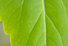 Green leaves house plants close-up in macro texture royalty free stock photography
