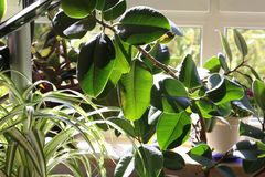 Green leaves of houseplants. Leaves in the sunlight. Green leaves of houseplants. Leaves in the sunlight stock image
