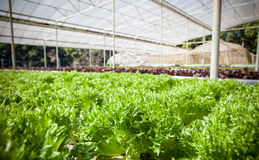 Green leaves of hydorponics vegetable in green house Stock Photo