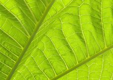 Green leaves I. Leave between camera and the sun shown detail like geography Royalty Free Stock Photo