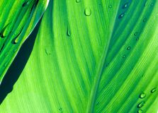 Green leaves III Royalty Free Stock Photography