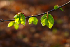 Free Green Leaves In Spring Stock Photo - 91102550