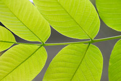 Green Leaves In Sunshine. Royalty Free Stock Image