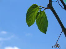 Green Leaves In The Sky Stock Images