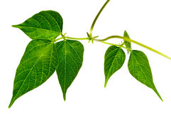 Green leaves isolated. Royalty Free Stock Photography