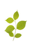 Green leaves isolated on a white. Stock Photo