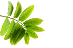 Green leaves . Royalty Free Stock Images