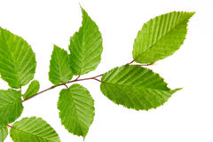 Green leaves . Stock Images
