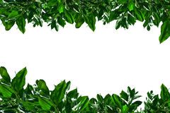 Green leaves isolated on the white. Green leaves isolated on the white Royalty Free Stock Photography