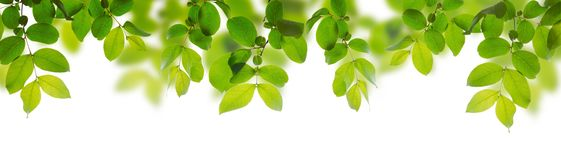 Green leaves on a white background. Green leaves isolated on a white background stock image