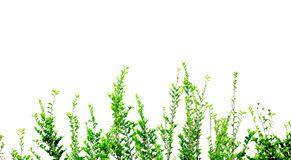 Green leaves isolated on white background Royalty Free Stock Photography