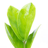 Green leaves isolated on white Stock Photos