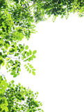 Green leaves isolated on white Royalty Free Stock Photo