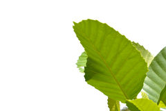 Green leaves isolated on a white background. Green leaves isolated on a white background Royalty Free Stock Photos