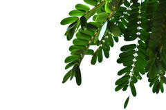 Green leaves isolated on the white background. Royalty Free Stock Photography