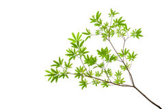 Green leaves isolated on white background, clipping path include Stock Photo