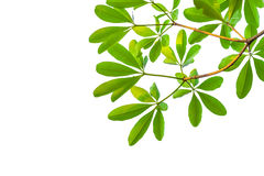 Green leaves isolated on white background, clipping path include Stock Images