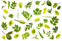 Green Leaves Isolated on White Background Royalty Free Stock Image