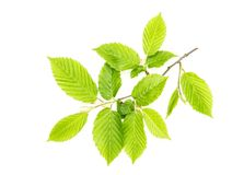 Green leaves isolated white background Royalty Free Stock Photography