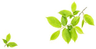 Green leaves isolated white background Leaf spring tree. Green leaves isolated on white background. Leaf of young spring tree royalty free stock images