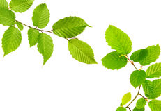 Green leaves isolated. Stock Photo