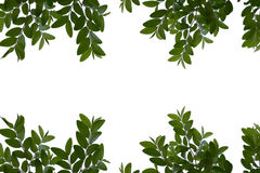 Green leaves isolated on the white background space for messages.  Stock Image