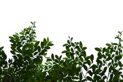 Green leaves isolated on the white background space for text.  Royalty Free Stock Photo