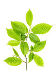 Green leaves isolated white background young tree Royalty Free Stock Image
