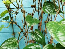 Green leaves of ivy betel and dried stems. Green leaves of ivy betel piper betle and dried stems on blue concrete wall Stock Photos