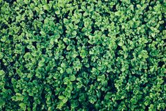 Green leaves of an ivy in a close-up. stock photos