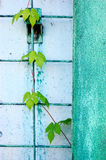 Green leaves of ivy growing on the wall Royalty Free Stock Photo