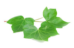 Green leaves of an ivy (Hedera L.). Three green leaves of an ivy Royalty Free Stock Photos
