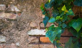 Green leaves of ivy on the old brick wall royalty free stock images