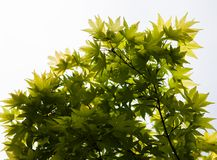 Green leaves of the Japanese maple (Acer palmatum) Stock Photography