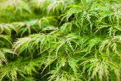 Green leaves of the Japanese maple (Acer palmatum) Royalty Free Stock Photo
