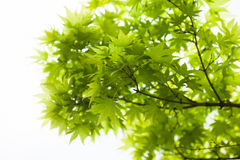 Green leaves of the Japanese maple (Acer palmatum) Stock Image