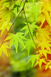 Green leaves, Japanese maple Royalty Free Stock Image