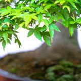 Green leaves japanese maple bonsai tree Acer palmatum. With background out of focus stock photography